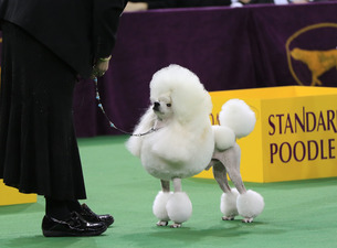 Westminster Kennel Club Dog Show - Monday Admission at Madison Square Garden